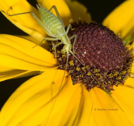 Rudbeckia nymph - Oecanthus