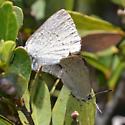 Mating Sooty Hairstreaks - Satyrium fuliginosum - male - female