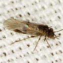 Common Barklouse - Blastopsocus lithinus - male