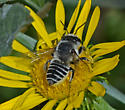 Bee 3327-3328-3330 - Megachile parallela - female