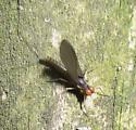 Mayfly1 - Baetis brunneicolor