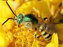 Agapostemon sp. Male? - Agapostemon angelicus - male