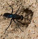 Arachnospila solonus - Ammosphex solonus