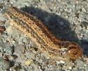 Caterpillar Sep 15 - Schinia trifascia