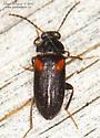 Mycetochara fraterna - Mycetochara