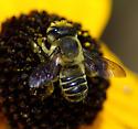 Bee - Megachile mendica - male