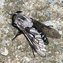 Tabanid - Tabanus superjumentarius - female