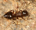Acrobat Ant - Crematogaster cerasi