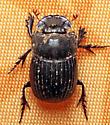 Beetle  - Copris minutus
