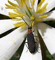 Beetle on bloodroot - Asclera ruficollis