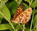 Silver-bordered Fritillary - Boloria selene - female