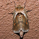 Pickerelweed Borer Moth - Hodges#9526 - Bellura densa