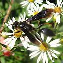 Brown-legged Grass-carrier - Isodontia auripes