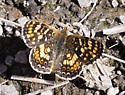 Another crescent or checkerspot - Phyciodes pulchella