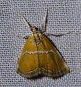 Abegesta - Abegesta reluctalis