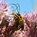 Chauliognathus pensylvanicus? - Chauliognathus pensylvanicus - male - female