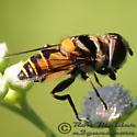 Fly 03 - Palpada agrorum