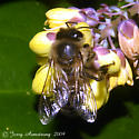 Early Honey(?) Bee - Apis mellifera