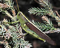 Obscure Bird Grasshopper - Schistocerca obscura