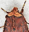 Mahogany moth - Orthosia praeses