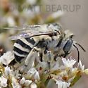 Bee - Anthophora urbana