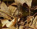 Darner in Forest - Basiaeschna janata - female