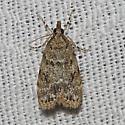 Hodges#4739 - Scoparia basalis