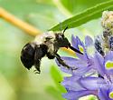 Small bee - Anthophora abrupta