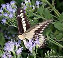 Ornythion Swallowtail - Papilio ornythion - male