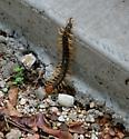 Giant Texas Centipede, Red Headed Centipede, Giant Redheaded Centipede (Scolopendra heros) - Scolopendra heros