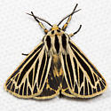 Little Virgin Tiger Moth - Hodges#8175 - Grammia virguncula