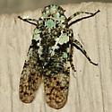 Fulgorid Planthopper - Calyptoproctus marmoratus