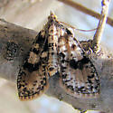Unknown Moth  - Palpita magniferalis