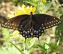 swallowtail - Papilio polyxenes - female