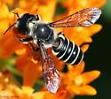 Megachile pugnata? - Megachile pugnata - female