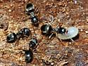 Spring Ants - Lasius americanus - female