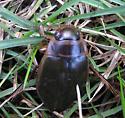 May bug - Dytiscus circumcinctus
