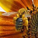 Andrena helianthi? - Andrena helianthi - female
