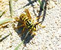 wasp different color pattern - Vespula squamosa