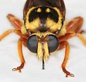 BG2761 C2432 - Laphria saffrana - male