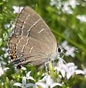 Soapberry Hairstreak - Hodges#4274 (Phaeostrymon alcestis) - Phaeostrymon alcestis