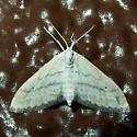 Lobocleta lanceolata? - Lobocleta - female