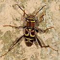 Beetle - Neoclytus mucronatus