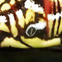 Banded Sphinx Caterpillar Posterior Features - Eumorpha fasciatus
