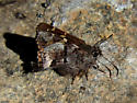 Short-tailed Skipper (Zestusa dorus) - Zestusa dorus