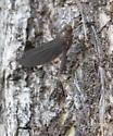 Ephemeroptera 01 - Paraleptophlebia