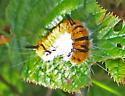 Orange and Black Caterpillar - Acronicta dactylina