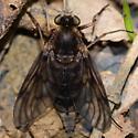 Large Black Fly - Chrysopilus