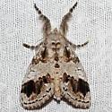 8301 - Dasychira leucophaea