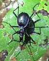 Black and purple beetle - Scaphinotus